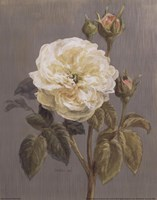 Heirloom White Rose Fine Art Print