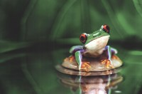 Red-Eyed Tree Frog Fine Art Print