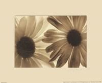 Daisies II Fine Art Print