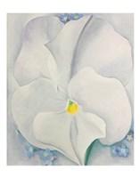 White Pansy Fine Art Print