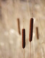 Cattails Fine Art Print