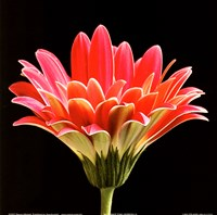 Pink Gerbera III Fine Art Print