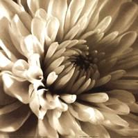 Sepia Bloom I Framed Print