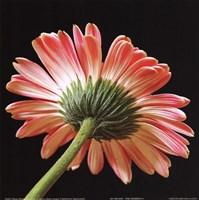 Pink Gerbera IV Framed Print