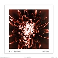 Chocolate Dahlia Framed Print