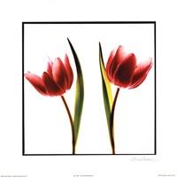 Tulip Impressions II Fine Art Print