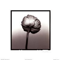Translucent Poppy II Framed Print
