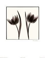 Tulip Shades II Fine Art Print