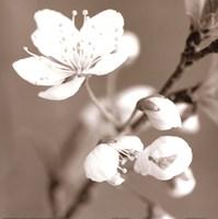 Blossom III - sepia Framed Print