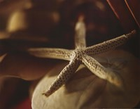 Starfish III Fine Art Print