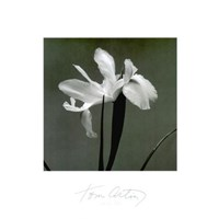 Iris III Fine Art Print