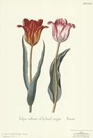 Tulipa Cultivar Fine Art Print