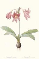 Amaryllis Reticulata Fine Art Print