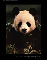 Giant Panda Feeding on Bamboo Fine Art Print