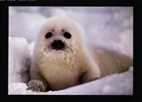 Harp Seal Pup Framed Print