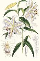 Lilium Auratum Framed Print