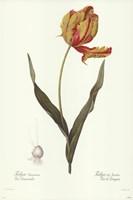 Tulipa Gesneria (A) Fine Art Print