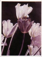 Tulips-Pyramid Fine Art Print