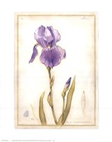 Purple Iris I Fine Art Print