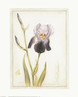 Purple Iris with Beard I Fine Art Print