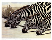 Four Zebras Drinking Fine Art Print