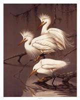 Snowy Egrets Fine Art Print