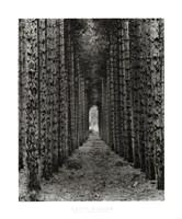 Red Pines, Empire, Michigan Fine Art Print