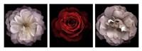 Rose Gallery II Fine Art Print