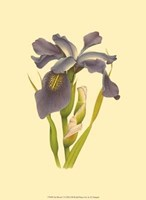 Iris Bloom V Fine Art Print