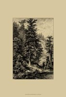 Noble Fir Fine Art Print