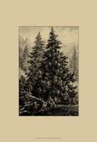 Spruce Pine Fine Art Print
