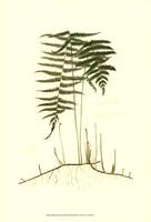 Spring Ferns III Fine Art Print
