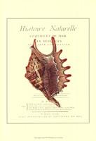 Coquilles De Mer III Framed Print