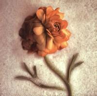 Sand Ranunculus Fine Art Print