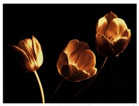 Tulip Trio Fine Art Print
