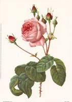 Rosa Centrifolia Bullata Framed Print