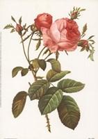 Rosa Centrifolia Foliacea Framed Print