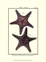 Sea Shells XII Fine Art Print
