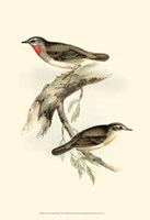 Gould's Gorget Warbler Fine Art Print