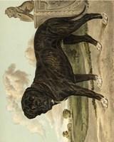 Mastiff Fine Art Print