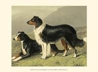 Sheep Dogs Fine Art Print