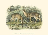 Virginian Deer Fine Art Print