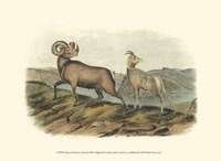 Rocky Mountain Sheep Fine Art Print