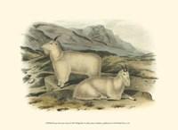Rocky Mountain Goat Fine Art Print