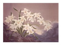 White Orchids Fine Art Print