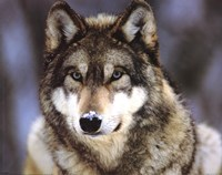 Grey Wolf Wall Poster