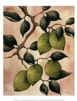Italian Harvest - Limes Framed Print