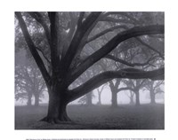 Oak Grove in Fog Framed Print