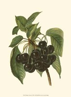 Black Cherries Fine Art Print
