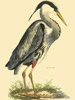 Small Great Blue Heron Fine Art Print